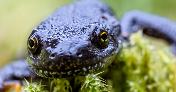 Great crested newt District Level Licencing